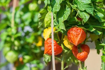Ingredients of Gaia Herbs Adrenal Health