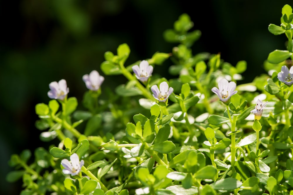 5 Reasons Why Bacopa Monnieri Is The Next Big Thing In Nootropics