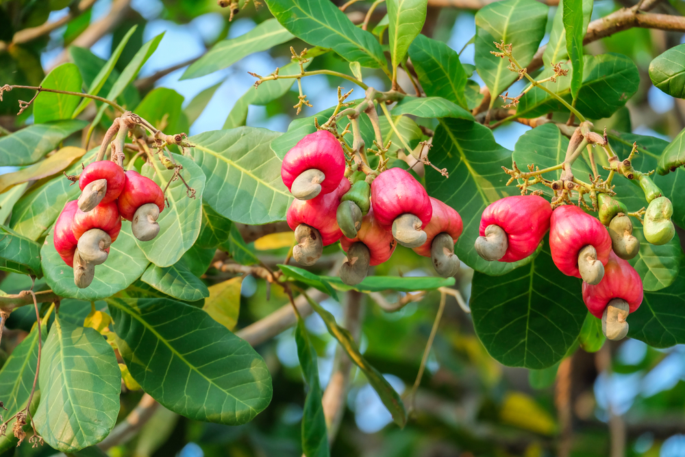 CASHEW: BENEFITS AND DANGERS TO THE BODY